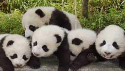 Chengdu Tours & Travel Packages, Chengdu China Panda Tour